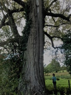 BlackPoplar Tree