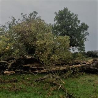 fallen black poplar